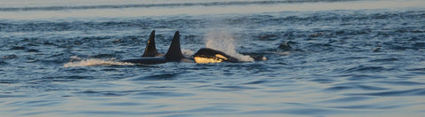 orca conservation lummi nation