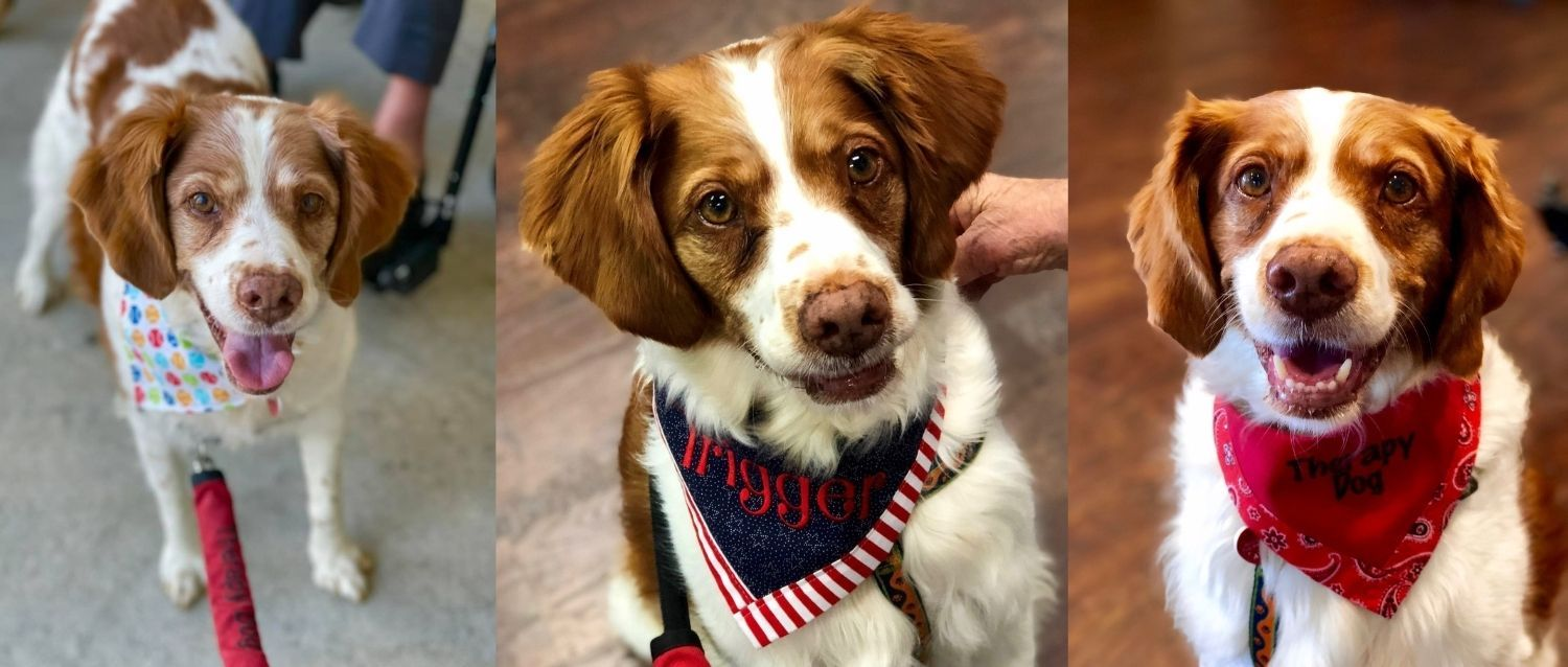 3 Collage images of Trigger, Brittany dog