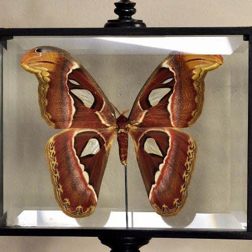 Attacus Atlas in Glass Box