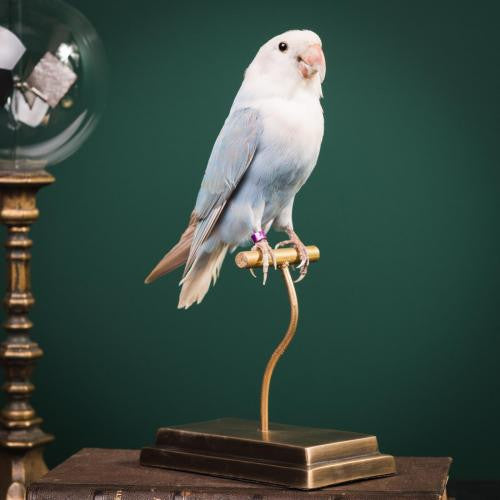 Parakeet Taxidermy