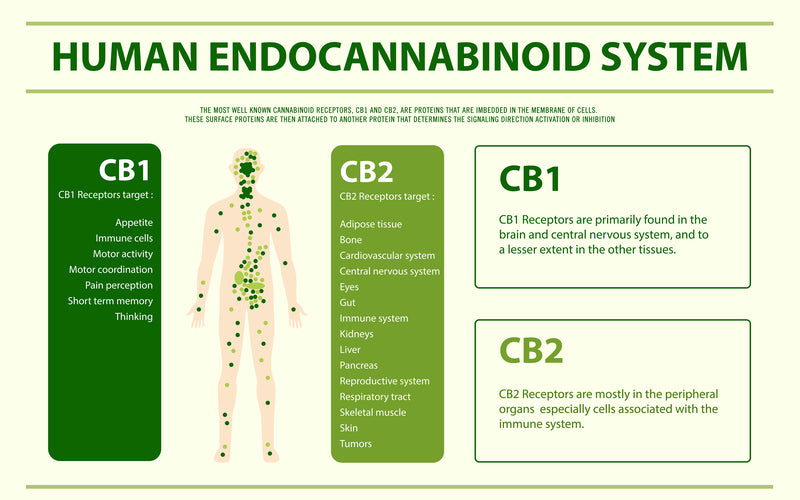 Functions of the Human Endocannabinoid System