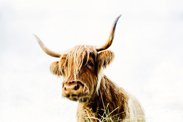 highland cow photographic print culloden scotland