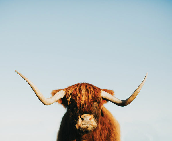 Antone the Highland Cow 2 Photographic Print