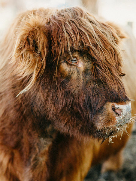Fluffy Highland Cow Photographic Print