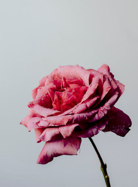 'The Rose' Photographic Print