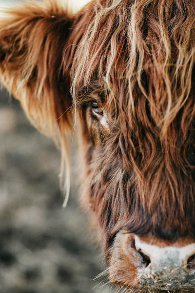 Fluffy Highland Cow Photographic Print 2