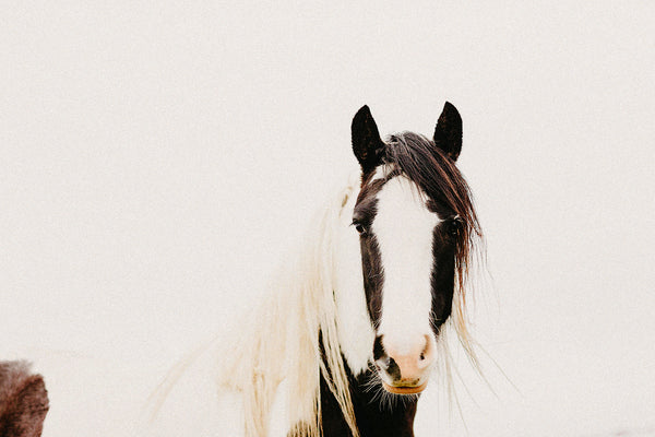 Piebald Horse Photographic Print, New Zealand