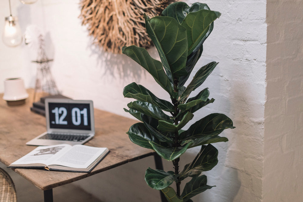 Your online resource for the Fiddle Leaf Fig!