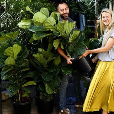 Sydney's fashionable residents pay $200 for fiddle-leaf figs