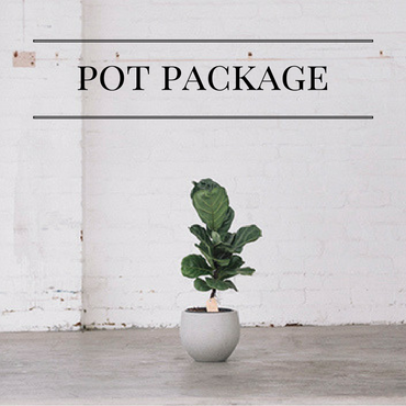 Fiddle Leaf Fig + Pot Package