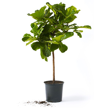 Fiddle Leaf Fig Tree Large 2.3m