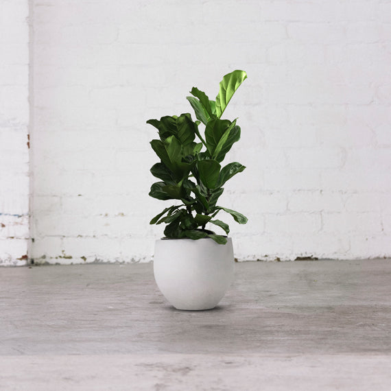 fiddle leaf fig tree 1m grey pot