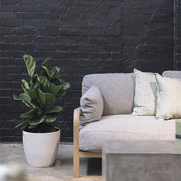 Fiddle Leaf Fig Tree 1m tall couch