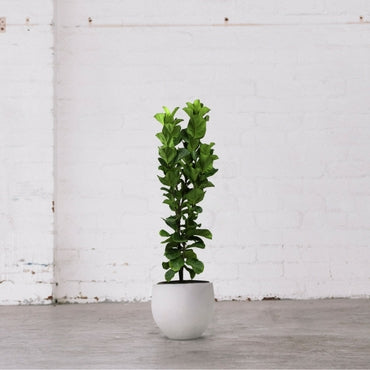 Fiddle Leaf Fig Bambino 1.3m/300mm