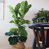 ficus lyrata 130cm fiddle leaf fig