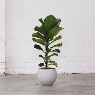 Fiddle Leaf Fig 1.0m/300mm