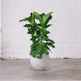 ficus lyrata 120cm fiddle leaf fig