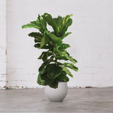 Fiddle Leaf Fig Tree 120cm tall