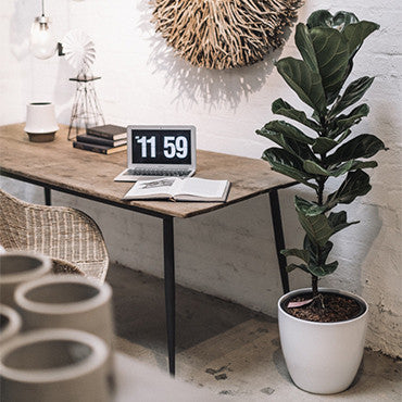 ficus lyrata 130cm fiddle leaf fig office