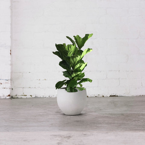 Fiddle Leaf Fig 1m/300mm
