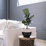 Fiddle Leaf Fig Tree Small Lounge Room