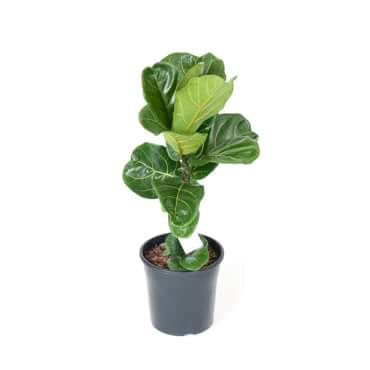fiddle leaf fig 60cm tall