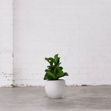 Bambino – Fiddle Leaf Fig
