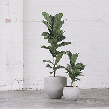 bambino fiddle leaf fig and pot duo large and small sample