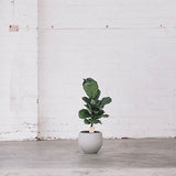 ficus lyrata 60cm fiddle leaf fig