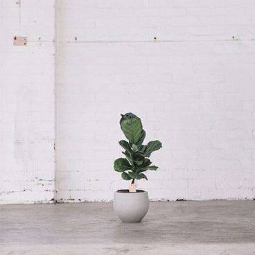 Fiddle Leaf Fig 60 cm/200mm