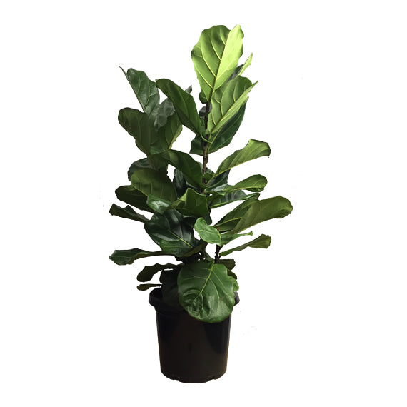 fiddle leaf fig tree 1m black pot