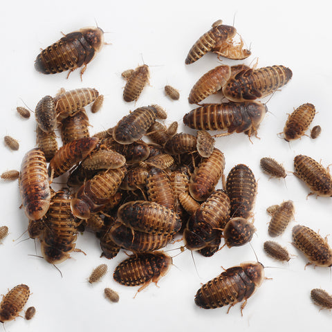 Mixed Dubia Roaches