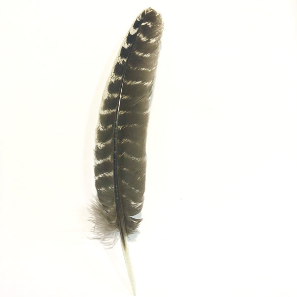 Barred Natural Turkey Wing Quill  Feather Right