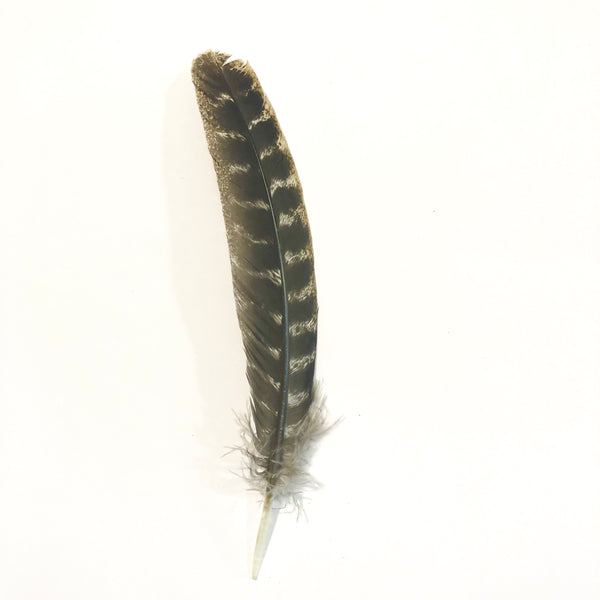 Barred Natural Turkey Wing Quill Feather Left