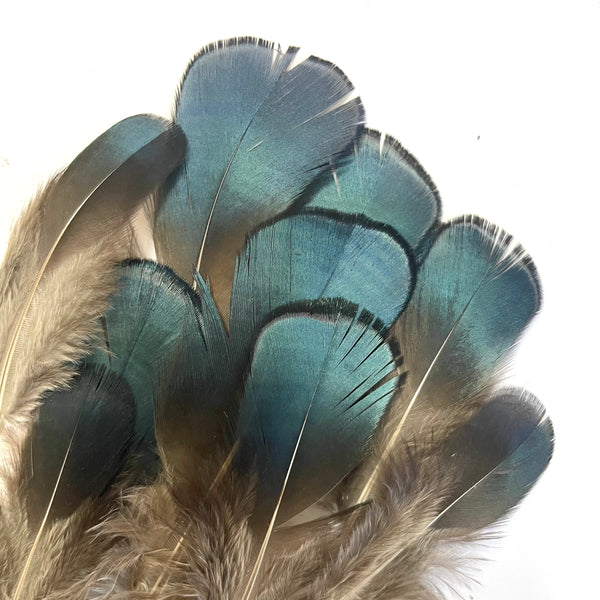 Natural Lady Amherst Jewel BLUE Pheasant Feather Plumage x 10pcs