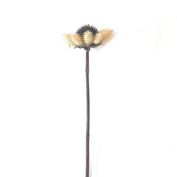 Natural Dried Thistle Daisy Flower