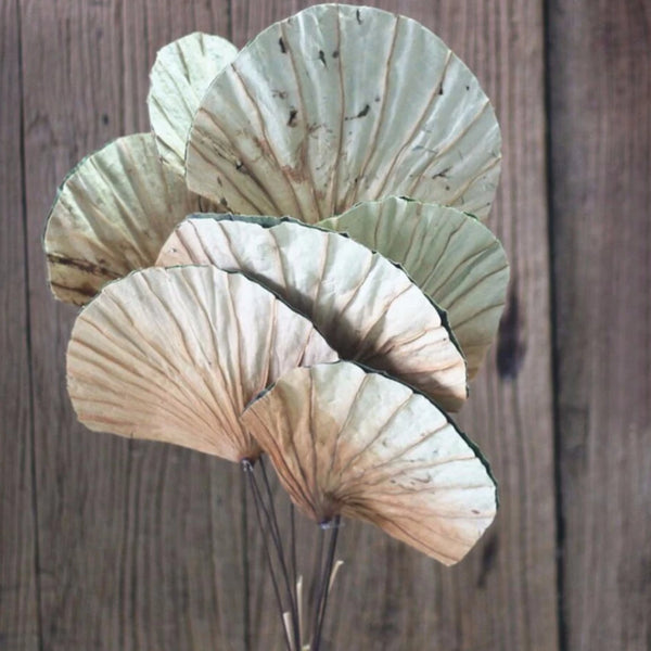 Natural Dry Lotus Fan Leaf Stem ((SECONDS))