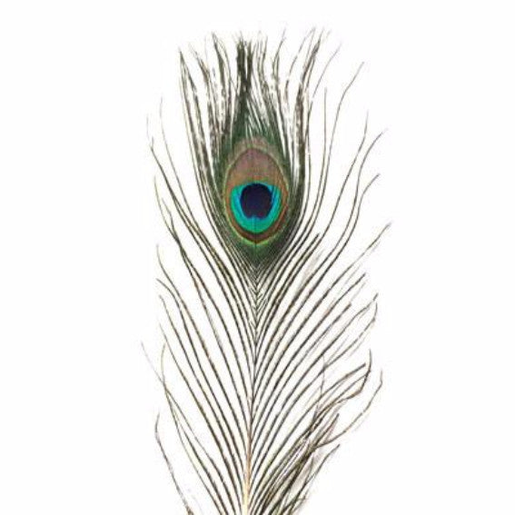 Mini Natural Peacock Eye Feather ((SECONDS)) X 10