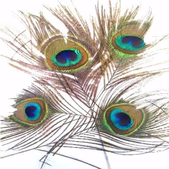 Natural Peacock Eye Feather 70cm - 80cm x 10 pcs ((SECONDS))