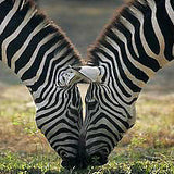 zebra with lines like on a zebra pattern trendy and cute backpack