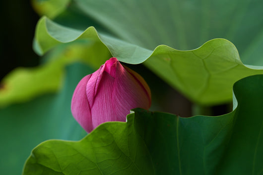 Greeting Card - Lotus Tsubomi