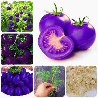 100 Purple Tomato Seeds