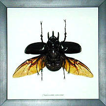 Bits and Bugs, Chalcosoma caucasus Beetle - Bits and Bugs - Gift - Paloma + Co Adelaide Boutique