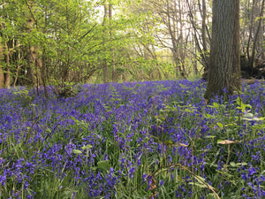 Bluebell woods in Sussex in the dappled sun