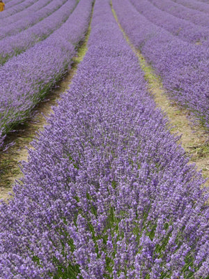 Lavender – Smells good and tastes good and does good