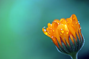 Calendula - from worship to healing