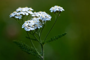 Introduction to my favorite herb - Yarrow