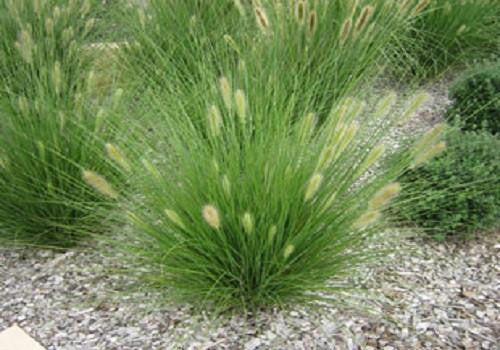 Native Grass Seed