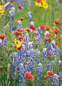 All Native Texas Oklahoma Wildflower Mix 3352 Wildseed