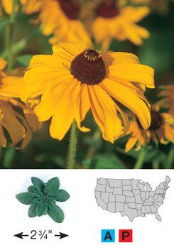 Black-Eyed Susan - 3239